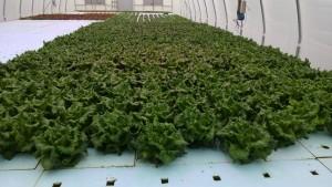 Organic Hydroponic Lettuce