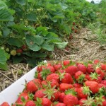 strawberry-flat_large-836x1024