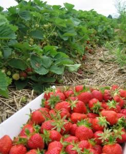 strawberry-flat_large-836x1024