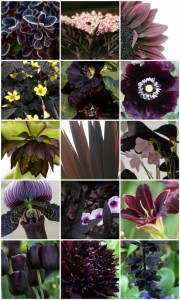 Some of the coolest black flowers ever.
