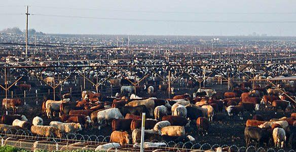 02227_cattle-feedlot-002
