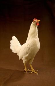 ARS-White_Leghorn_hen