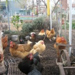 CommunityGardenChickens