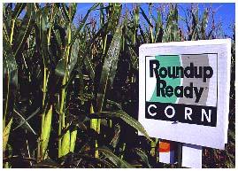 RoundupReadyCorn