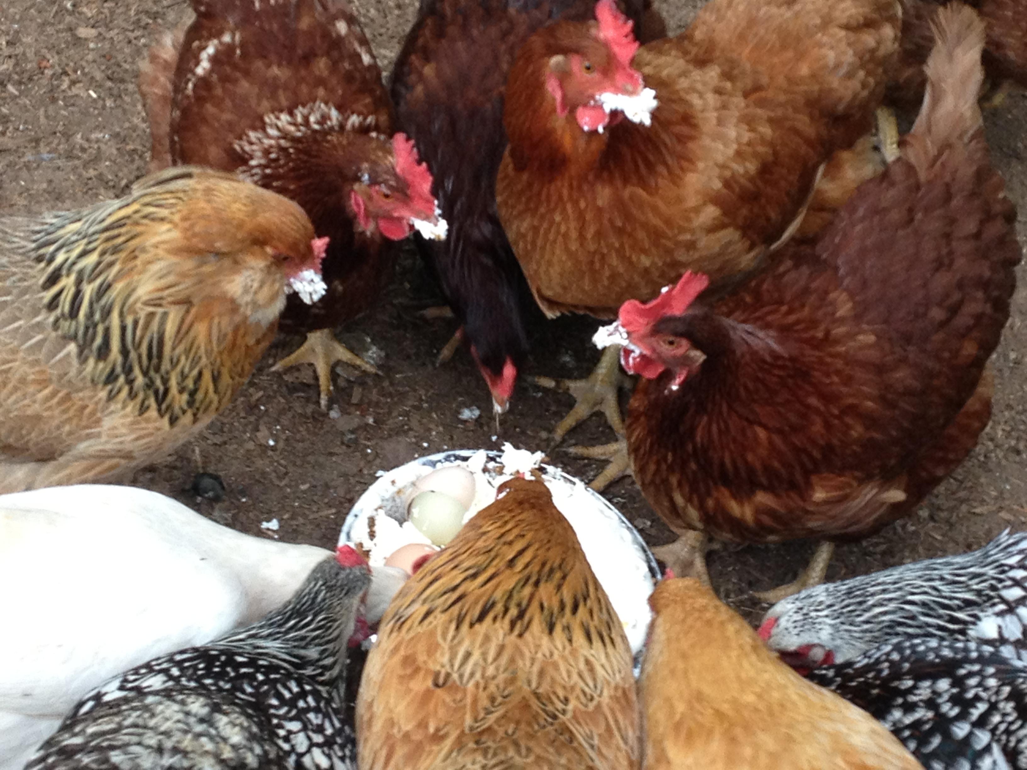 Erik-Chickens