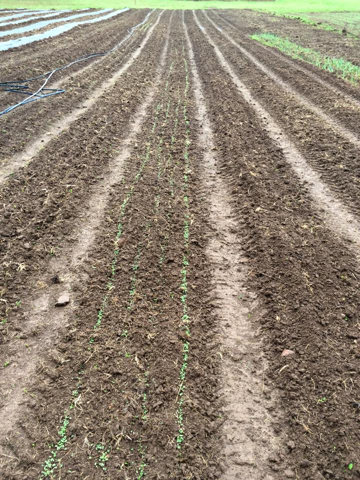 Just planted Rows