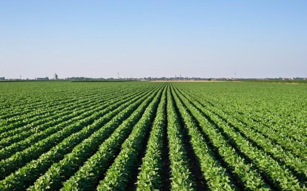 soybean-field