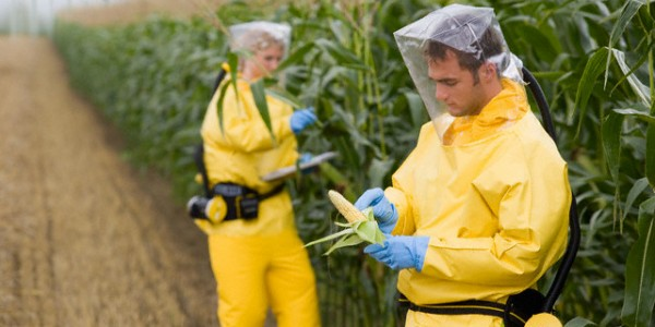 Researchers with Genetically Modified Corn