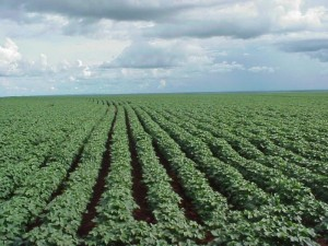 Farmland.Crops
