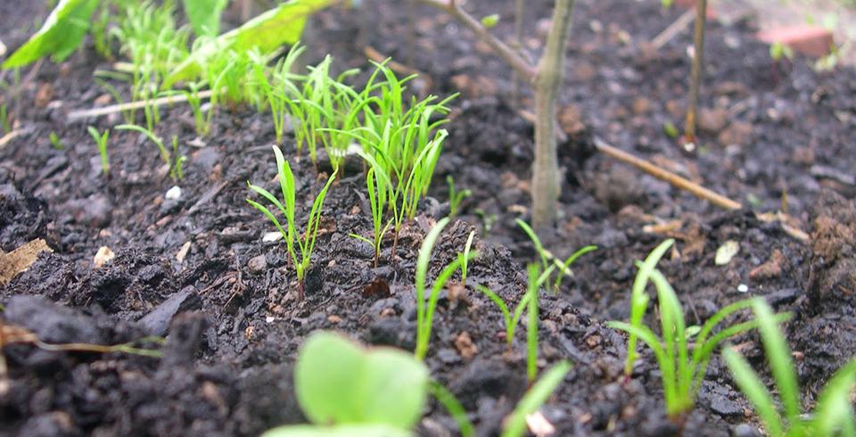carrots-growing