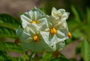 potato-flower