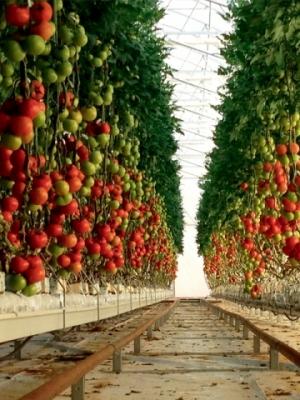 tomato_farm