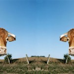 cloned_cattle2