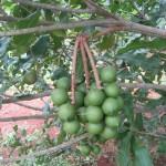 Macadamia_(4507010499)
