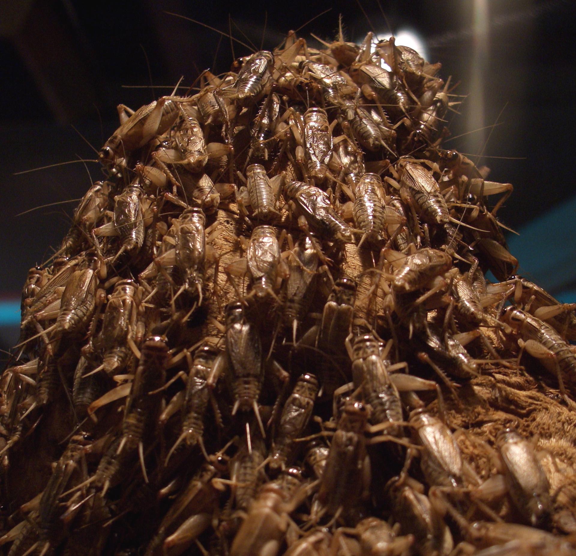 Sync-crickets