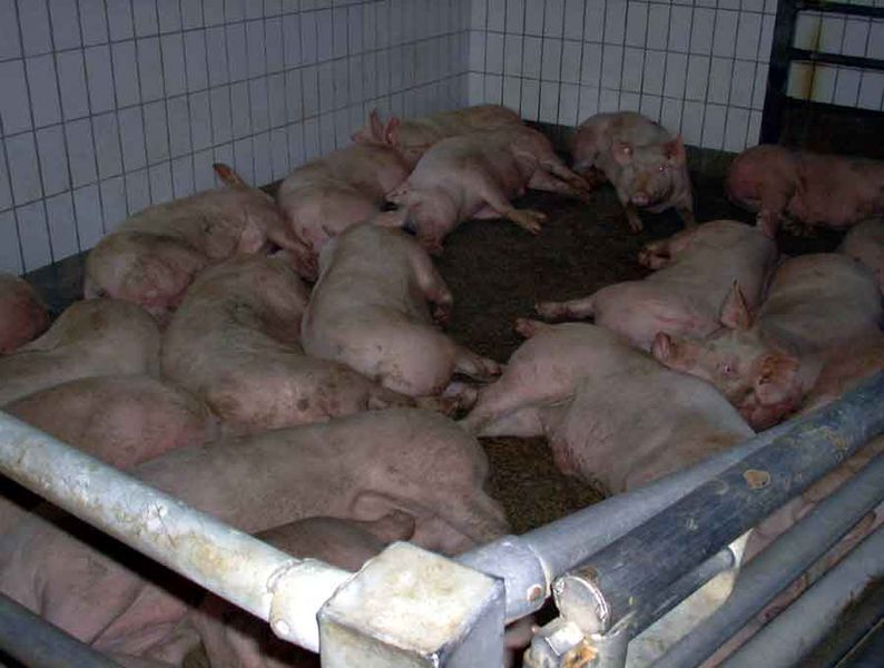 794px-Pigs-lying