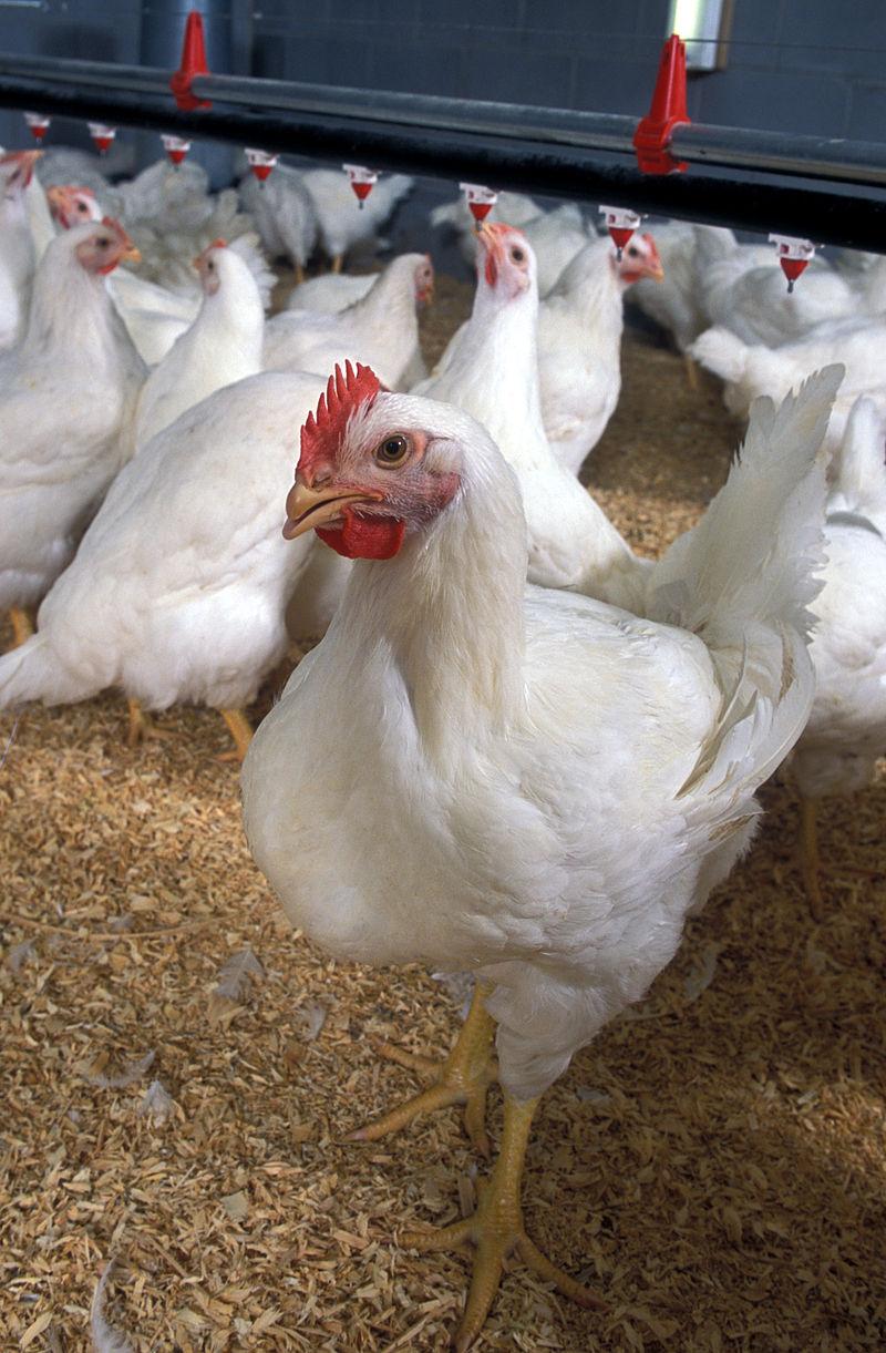 800px-Poultry_Classes_Blog_photo_-_Flickr_-_USDAgov