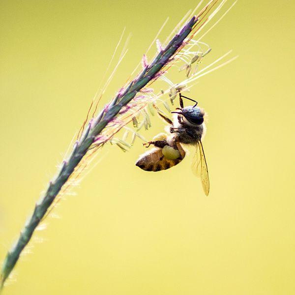 Bee_working