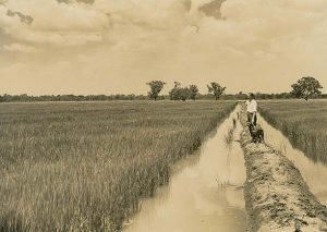 rice_fields_near_leeton