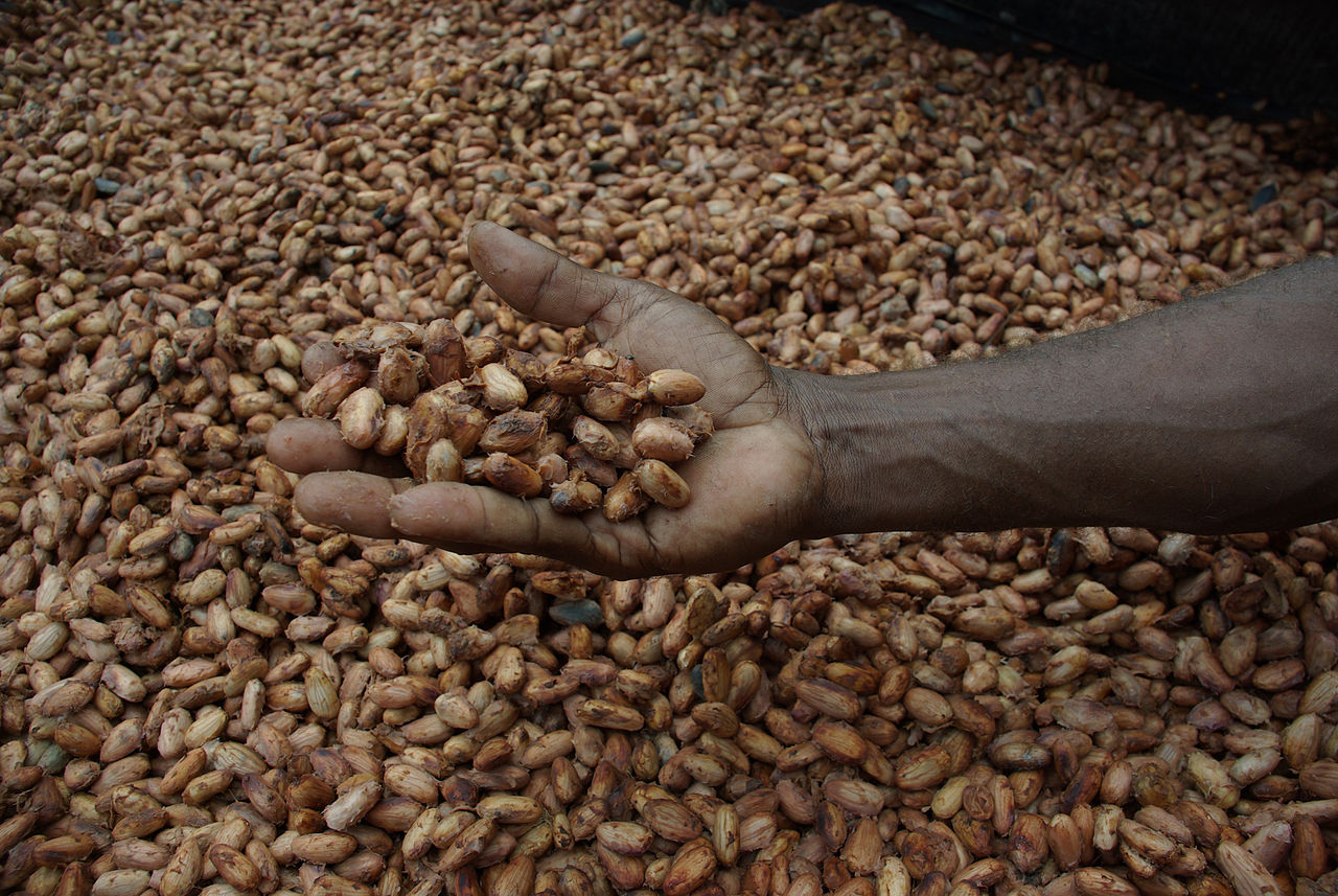medium_close_up_image_of_david_kebu_jnr_holding_cocoa_beans_drying_in_the_sun__10703178735