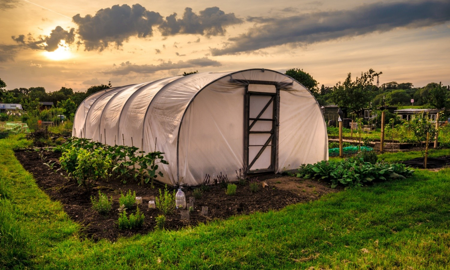 Polythene tunnel as a plastic greenhouse in an allotment with growing vegetables at sunset.