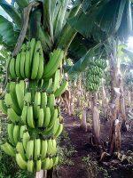 Banana Tech