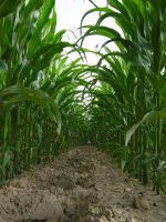 How Different Is GMO Corn?