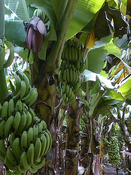 Banana_Farm_Chinawal_05