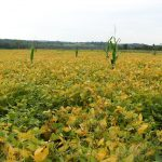 Soybeans_Schoharie_Crossing_State_Historical_Site,_Fort_Hunter_NY_2802_(4030012002)