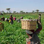Harvesting_beans_(5762966966)