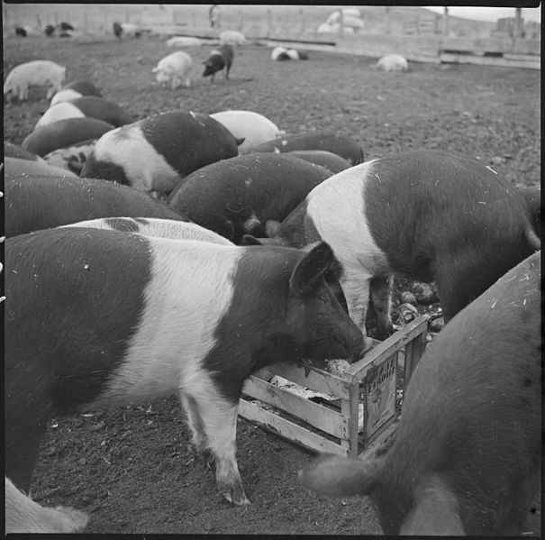 605px-Tule_Lake_Relocation_Center,_Newell,_California__A_view_of_hogs_on_the_temporary_hog_farm_at_this_r_______-_NARA_-_536365