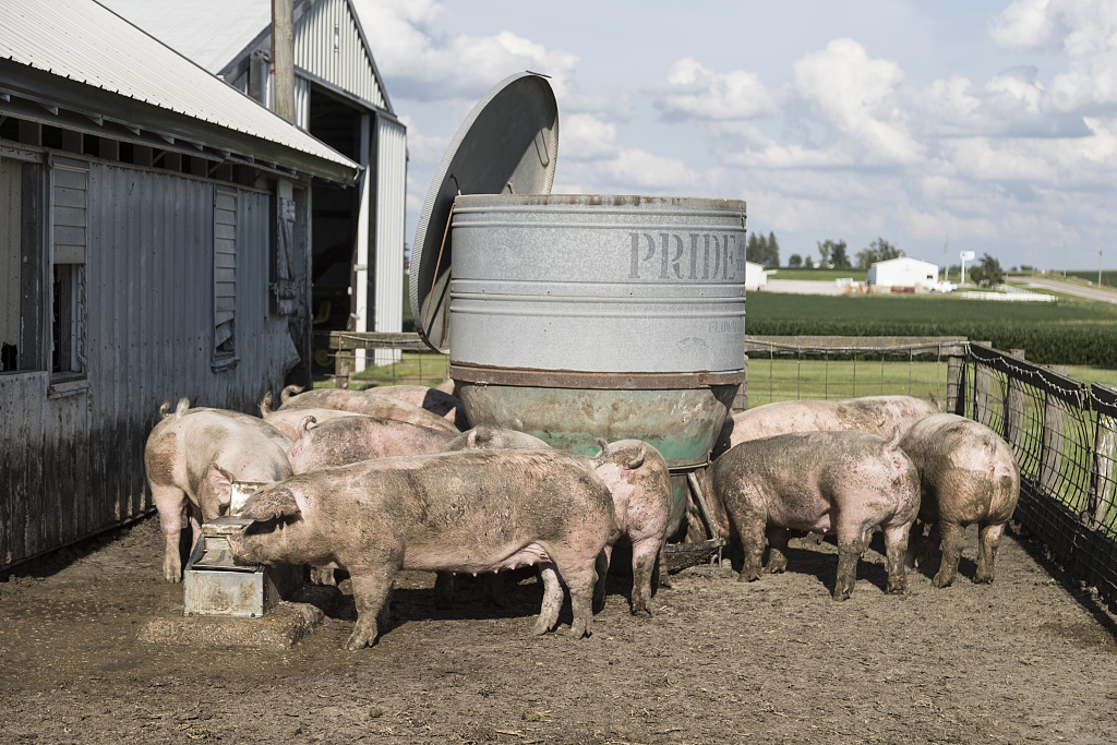 Sows in a pigpen jostle for food and water on Dean and Julie Folkmann's hog farm in Benton County, Iowa, near the town of Newhall.  As of 2016, the farm has been in the family for 162 years.  At any time, approximately 50 million hogs are being raised in the state with just over 3 million people.  That's about one-third of all the pigs raised in the United States.  One reason: the grain ground for hog food is often taken from the hog farmer's own corn and soybean fields.