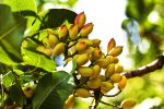 Nut Trees – Increasingly Desirable Agricultural Assets