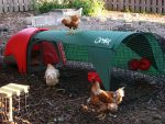 Farm Animals in the City – Chicago has almost no rules