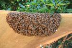 Honeybees – A Sign of Good Luck