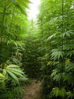 The Legal Uncertainty Facing the Hemp Industry